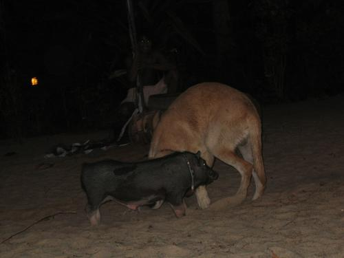 Pig On Dog Action